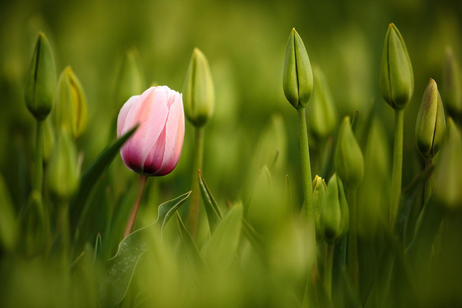 A varázslatos tulipán