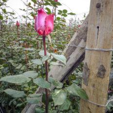 ecvador-rozsa-egerviragkuldes-viragkiszallitas-eger-20130731-11