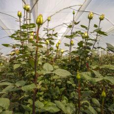 ecvador-rozsa-egerviragkuldes-viragkiszallitas-eger-20130731-15