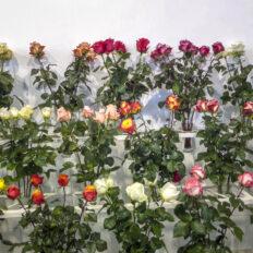 ecvador-rozsa-egerviragkuldes-viragkiszallitas-eger-20130731-18